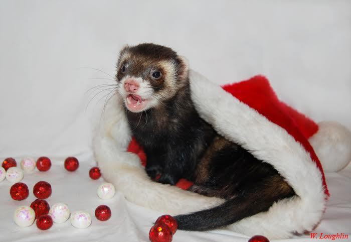 Christmas Ferret.Welcome To Lakeroad Ferret Farm Rescue Shelter Inc