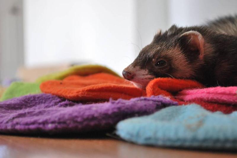 Peachy Welcome To Lakeroad Ferret Farm Rescue Shelter Inc Machost Co Dining Chair Design Ideas Machostcouk